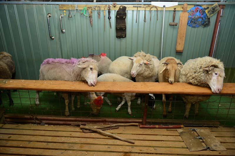 Sunnydale Shearing Show